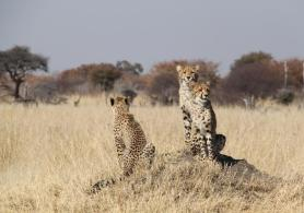 Young cheetahs in the Hwange National Park, Zimbabwe.