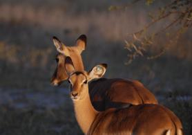 Young marked female impala in Hwange National Park.