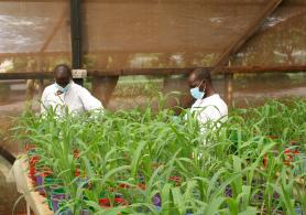The scientists breed maize in order to feed maize pests.