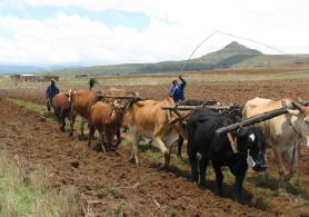 Soil preparation by cows before sowing the field with maize, in the foothills of Drakensberg, South Africa.