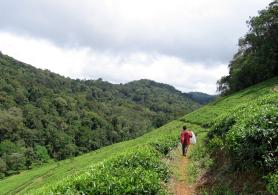 Tea plantation in the Tanzanian mountains.