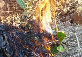 "Controled fire of ""Uapaca bojeri"", endemic malagasy species."