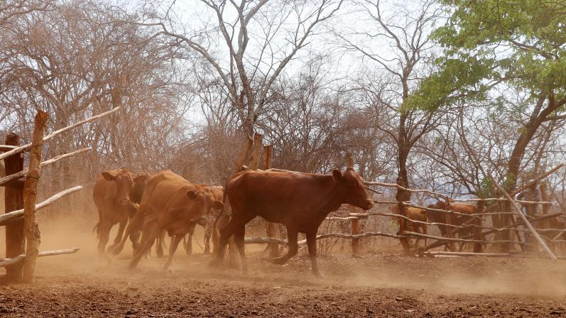 Veterinary training aiming at improving the animal disease surveillance system. Cattle running in the enclosure in Radco farm, Bindura, Zimbabwe.