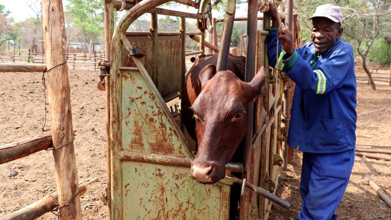 Veterinary training aiming at improving the animal disease surveillance system. The cow is kept in an enclosure during veterinary analysis.